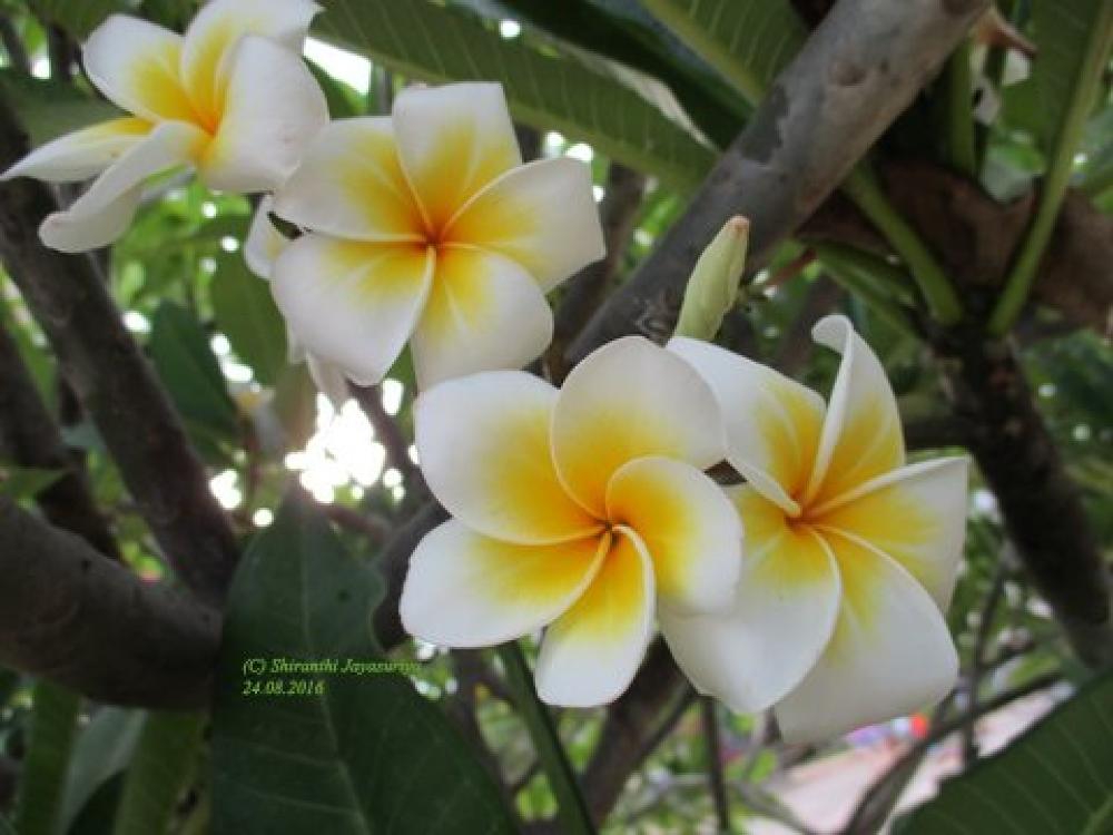 Araliya Mal Botanical Name Plumeria Plumeria Flower Photos Botanical