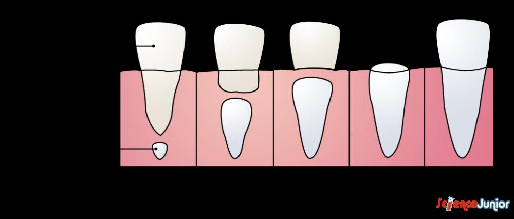Les Dents Sciencejunior Fr Dents Lait Orthographe Ce1