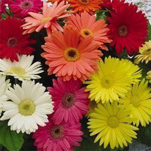 105 Rare Limited Offer Gerbera Daisy Mix Color Dengan Gambar