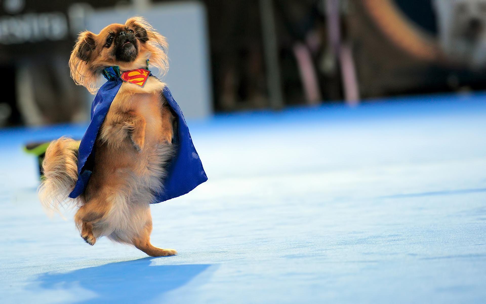 funny pics Funny Dog Superman Logo HDWallpaper Funny