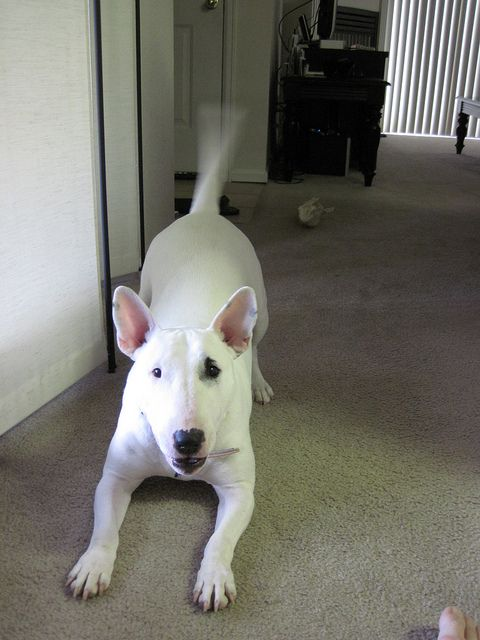 The Top 10 Dog Names Of 2014 English Bull Terriers Bull Terrier