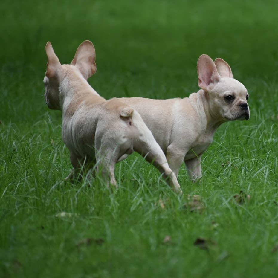 Best Pets Shops In Delhi Pets Shops In South Delhi In 2020 Bulldog Puppies French Bulldog Puppies Puppies