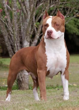Image Seo All 2 Red Nose Pitbull Pitbull Terrier Dog Breeds American Pitbull Terrier