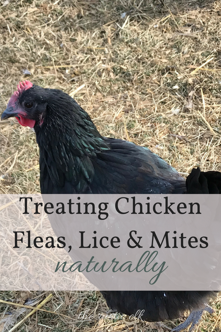 Treating Chicken Fleas Lice Mites Naturally Mites On Chickens Raising Chickens Chickens Backyard
