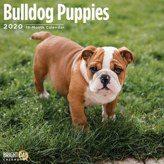 2020 Bulldog Puppies 16 Month 12 X 12 Wall Calendar Cute Dog