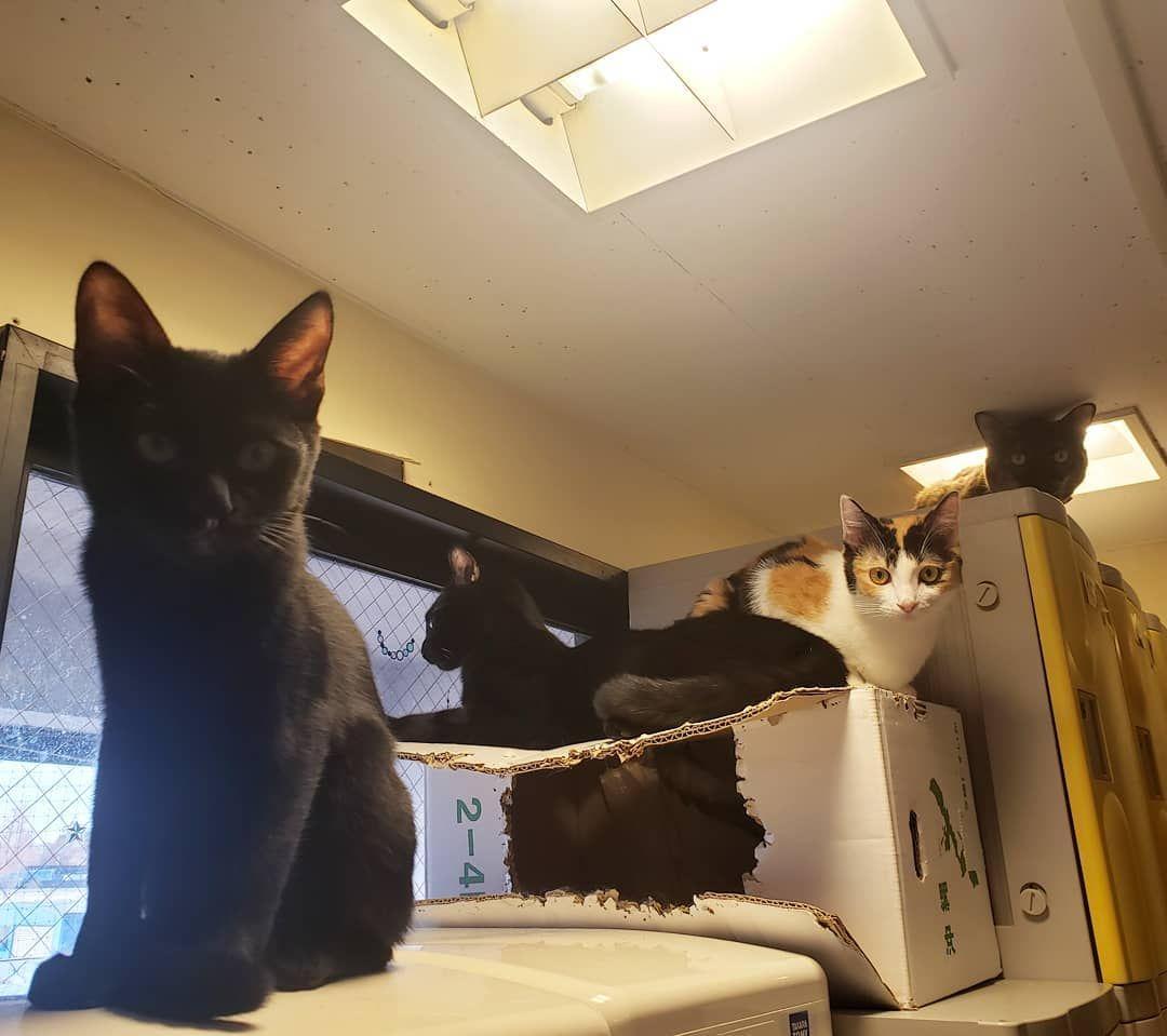 前からノアくりりんビーデルエリカ エリカのラスボス感 猫 猫カフェ 猫まるカフェ 猫まるカフェ上野 上野 保護猫 にゃんスタグラム ネコスタグラム 猫部 ねこら部 Cat Catcafe Cats Animals