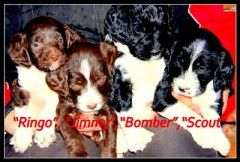 Springerdoodles Our Boys - Puppies and Dogs For Sale Pets Classified Ad - OregonLive.com
