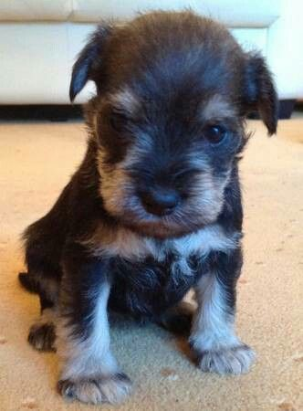 I Found This Little Gem On Craigslist In Los Angeles He S Mini Poodle And Mini Schnauzer Mini Poodles Mini Schnauzer Poodle