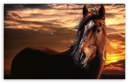 Horses Animals Brown Horses Animals Horse Mane Brown horse wallpaper hd