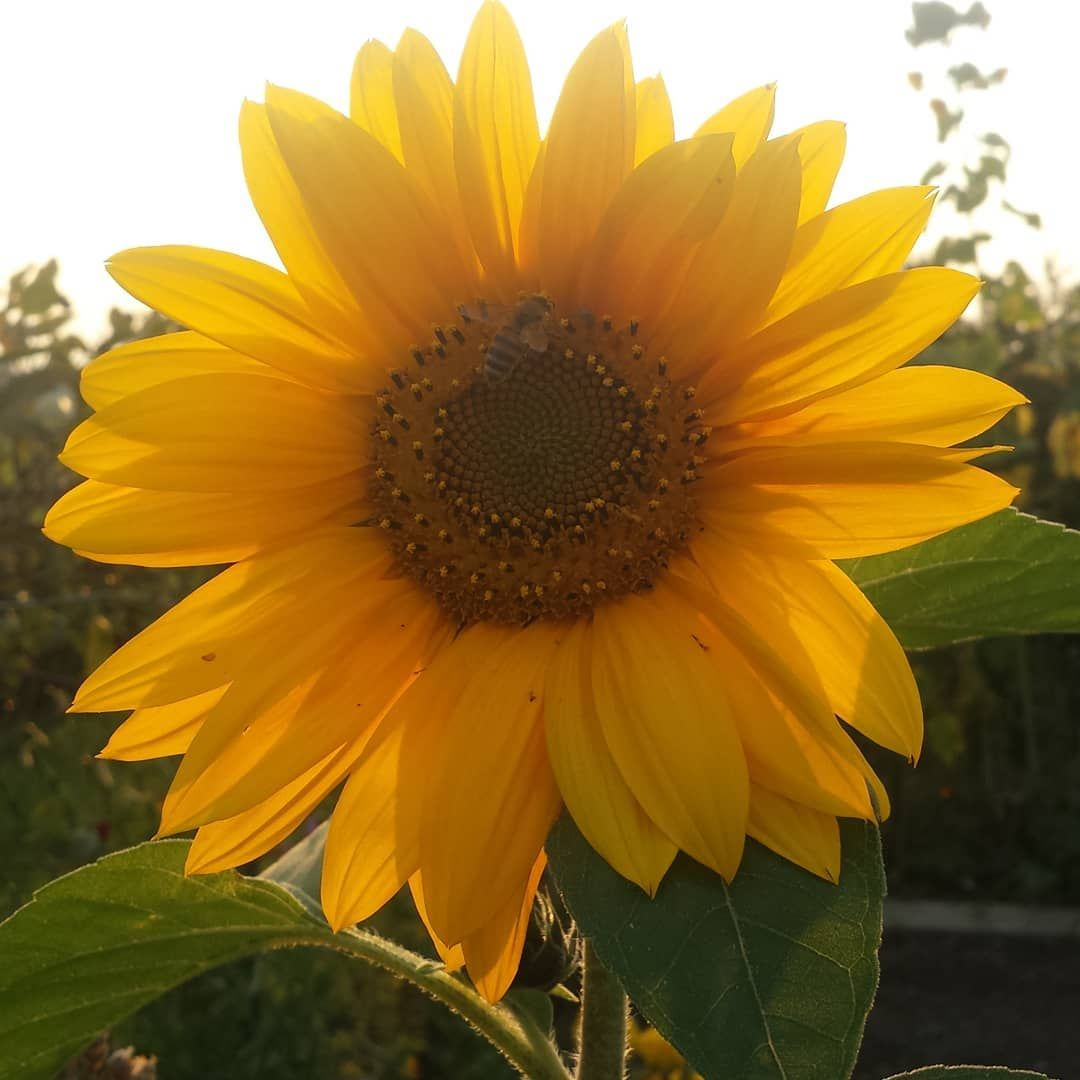 Sonnenblume Schon Sun Sunflower Sonnenblume Garden Garten Gartengluck Garten Sonnenblumen Blumen
