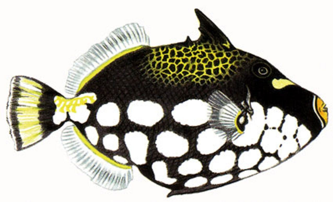 art illustration oceans u0026 seas scorpaena scrofa it is a fish