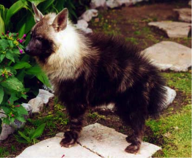 The Chihyena Is A Very Rare Hybrid Cross Breed Between A Chihuahua And A Hyena Due To A Ferocious Character Extreme Caution Has T Hyena Brown Hyena Wild Dogs
