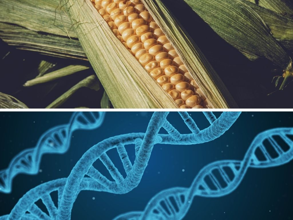 Pro And Con Of Gmo Crop Food Benefit Disadvantage Better Meet Reality Genetically Modified Organism List
