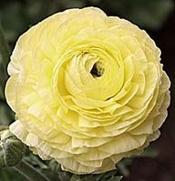 Wayne Schmidt S Ranunculus Page Fragrant Flowers Flower Garden Design Ranunculus