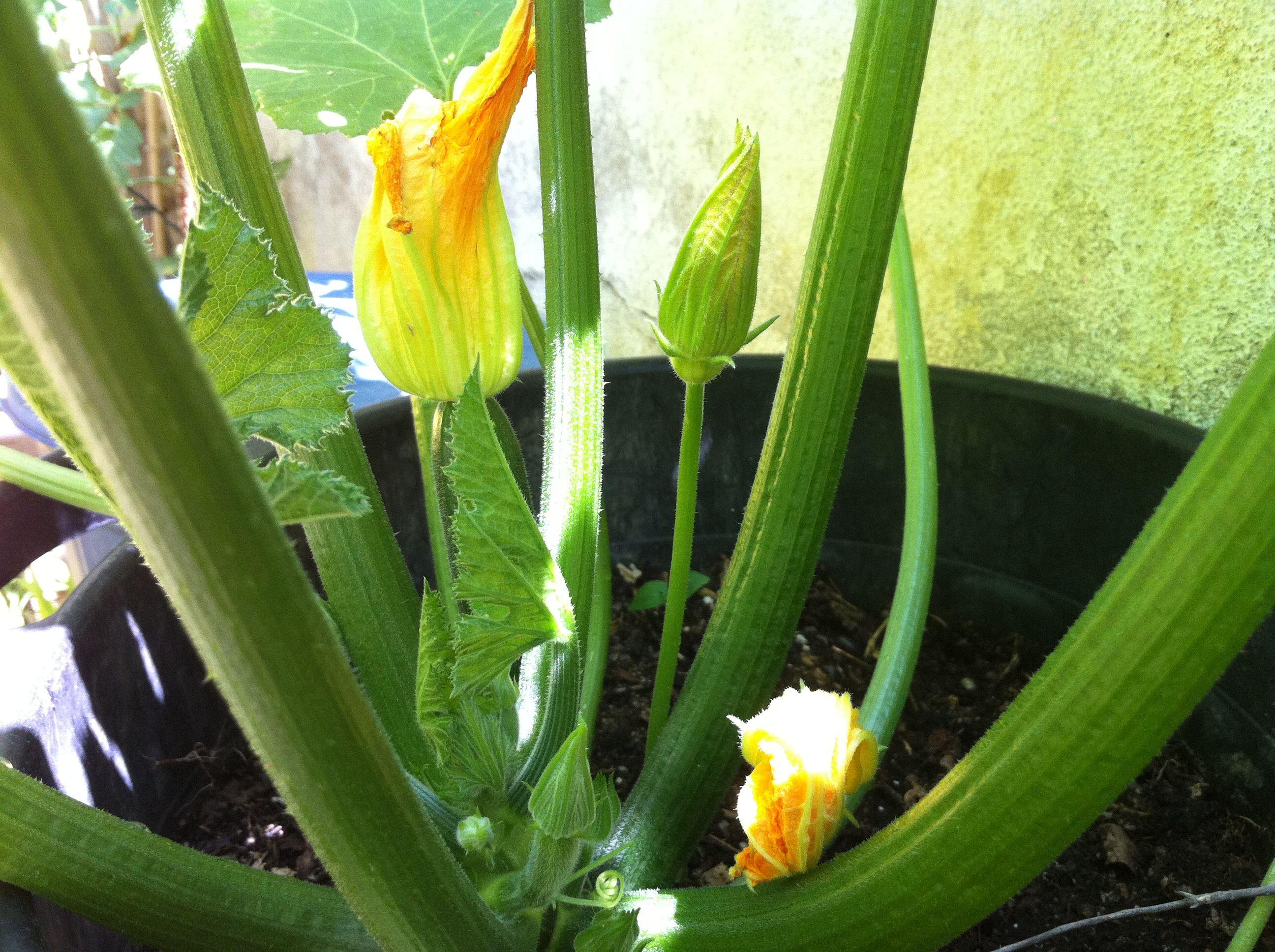 #Calabacines creciendo en un #huerto urbano. Además del propio calabacín, las #flores son deliciosas rellenas de algún queso cremoso y pasadas por la sartén. www.ecobrotes.es