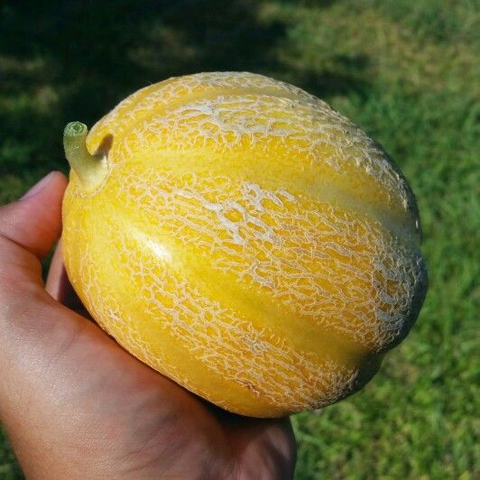 Smaller cantaloupe ripened to a bright yellow-orange. Lets hope it tastes as good as it looks :) #gardening #horticulture #cantaloupe #austin #texas
