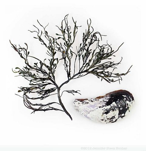 Rockweed and Mussel
