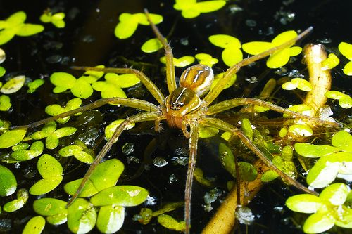 Common Water Spider