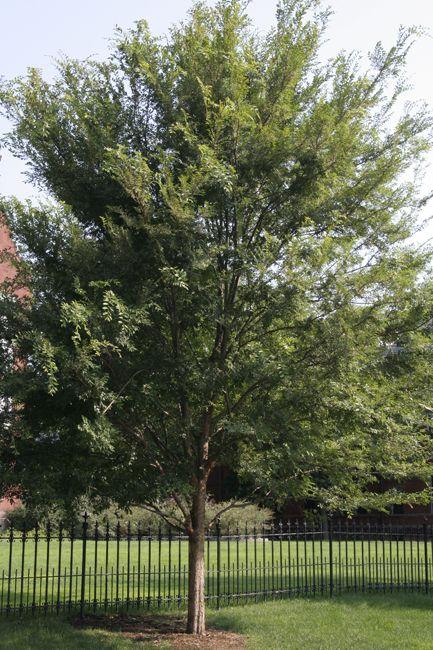 Ulmus Parvifolia Allee Garden Shade Trees Garden