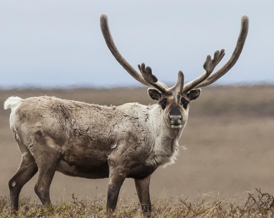 35 Stunning Photos of American Wilderness and Wildlife | Field & Stream.  A caribou poses in the National Petroleum Reserve, a massive 22.8 million-acre wilderness along Alaska's north slope.