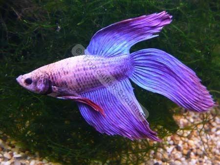 purplebettafish under the sea pinterest betta