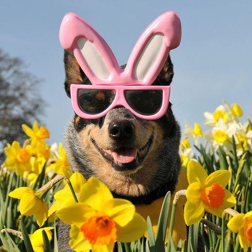 Easter Bunny Dog Glasses Easterdog Loldog Hahadogs Easter Dog