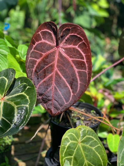Anthurium Red Crystallinum Nse Tropicals Anthurium Plant Leaves Unusual Plants