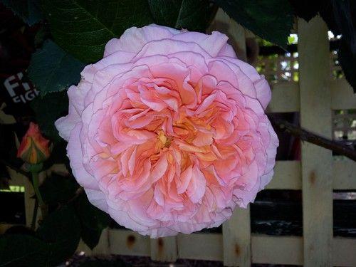 Abraham Darby-David Austin climbing fragrant rose.