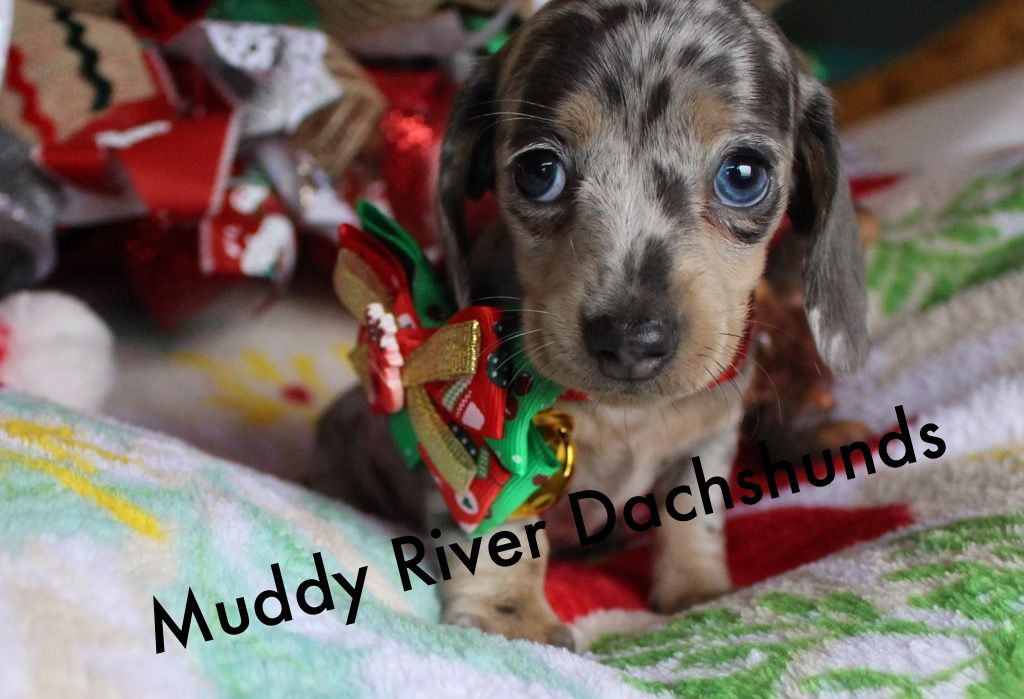 Miniature Dachshund Puppies For Sale Blue And Cream Dachshund