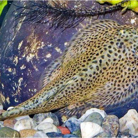 Gold Dojo Loach With Images Aquatic Garden Dojo Planted Aquarium