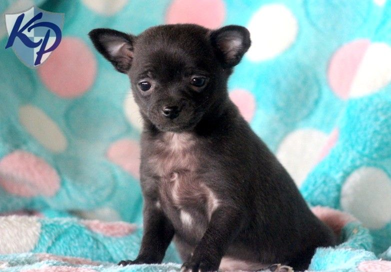 Puppy Finder Find Buy A Dog Today By Using Our Petfinder Chihuahua Mix Puppies Chihuahua Mix Puppies