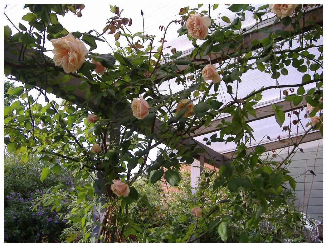 gloire de dijon apricot climber arbor entrance to backyard