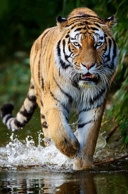 Siberian Tiger by generalstussner on Flickr.