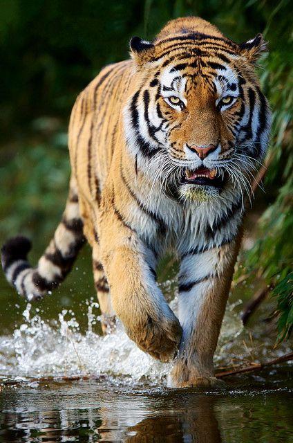 Siberian Tiger by generalstussner on Flickr.