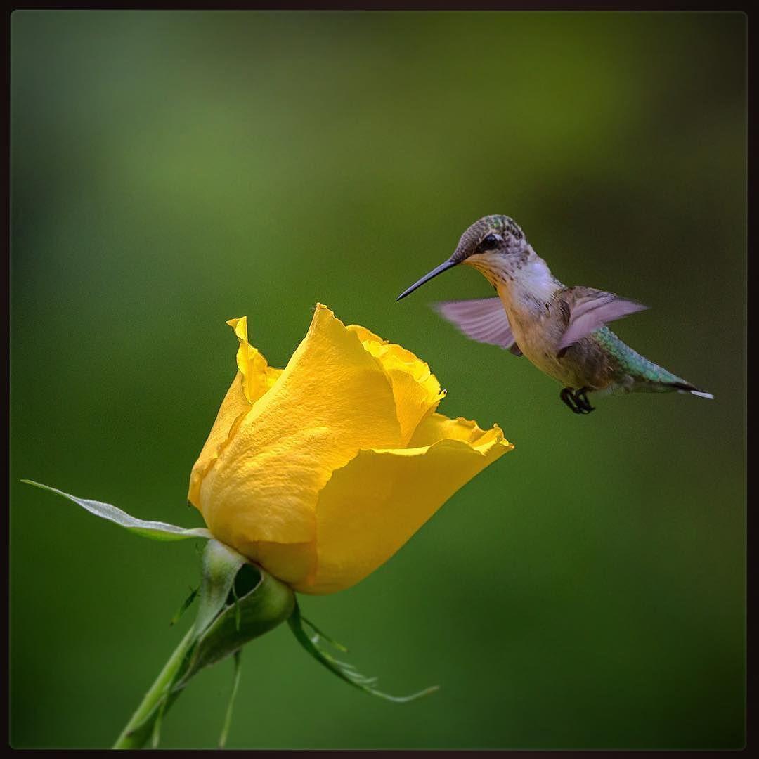 Thomas Jarrold On Instagram Rose Glow The Yellow Rose Glows In Heart Treasure Gold As The Ruby Throat Ruby Throated Hummingbird Yellow Roses Hummingbird
