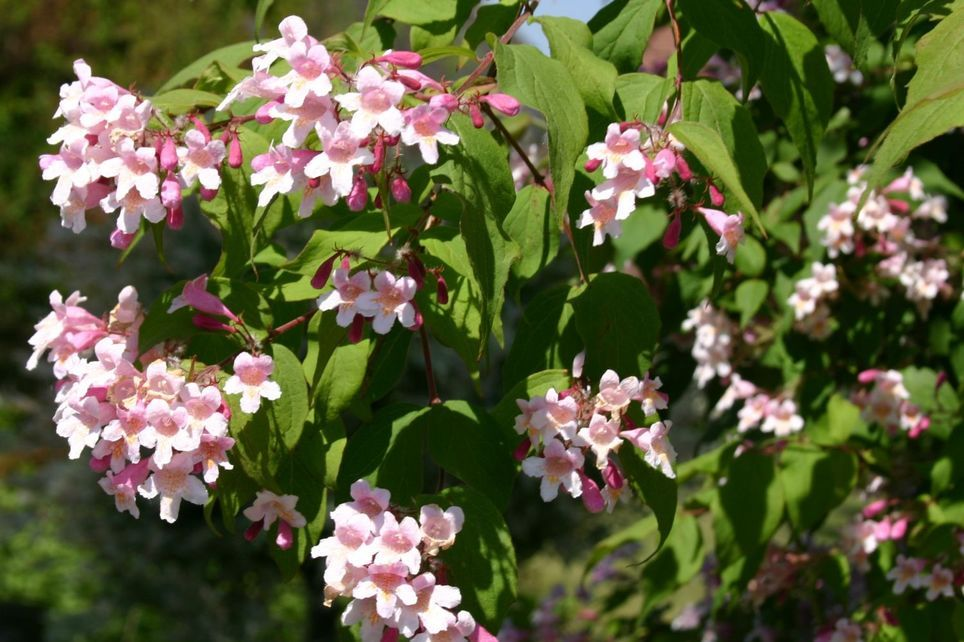Perlmuttstrauch / Kolkwitzie - Kolkwitzia amabilis