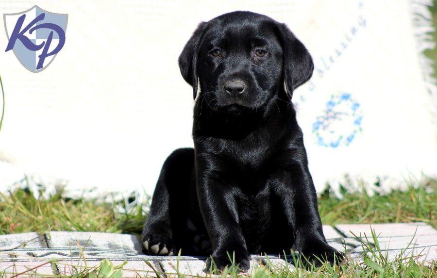 Puppy Finder Find Buy A Dog Today By Using Our Petfinder Labrador Retriever Puppy Finder Black Lab Puppies