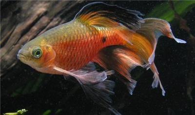 Longfin Rosy Barbs Aquarium Fish Fish Community Fish Tank