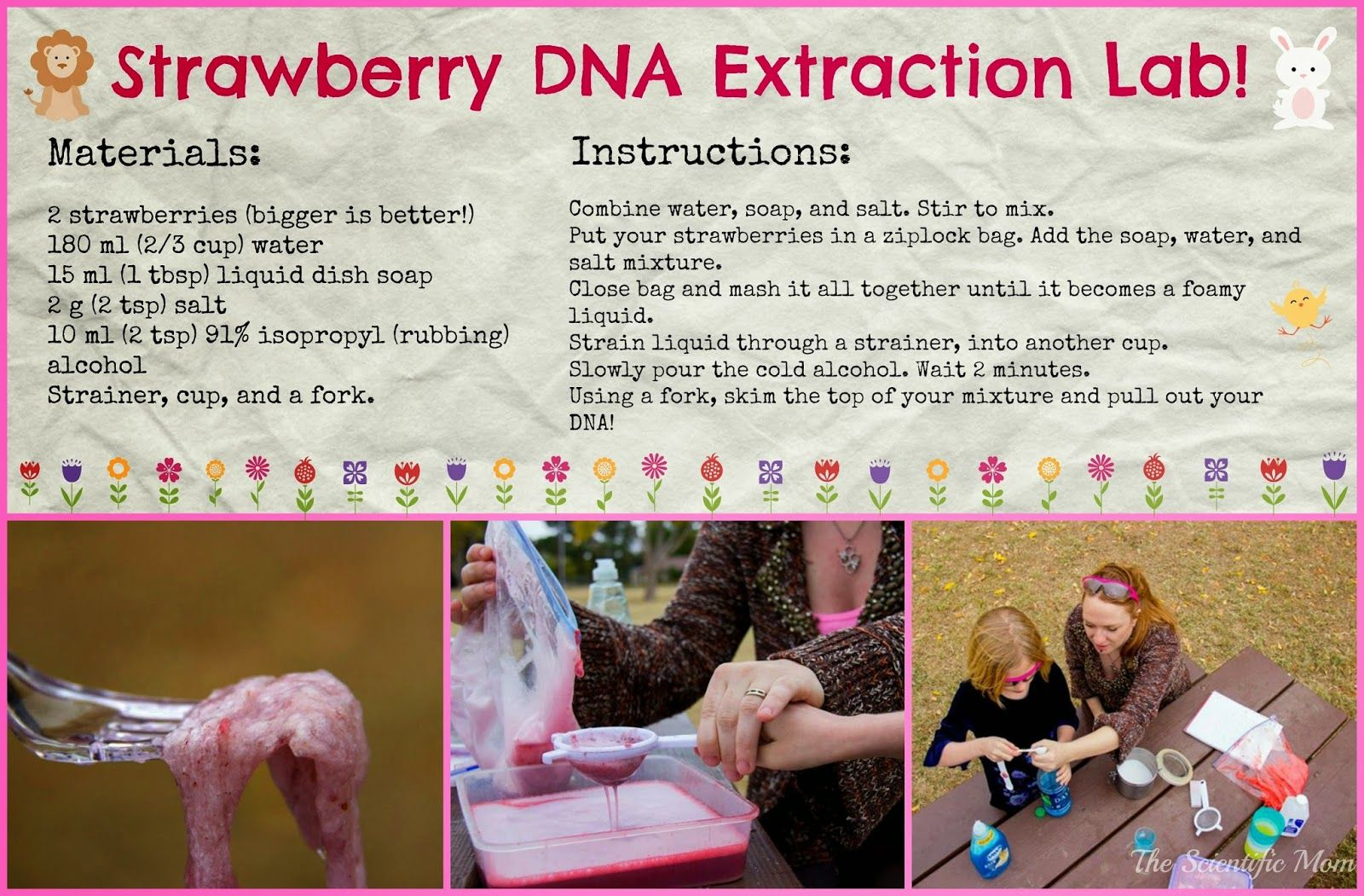 Sweet Science: Strawberry DNA Extraction Lab! | Dna ...