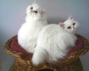 Adopt Marshmallow On Kitten Adoption Persian Kittens Persian Cat White