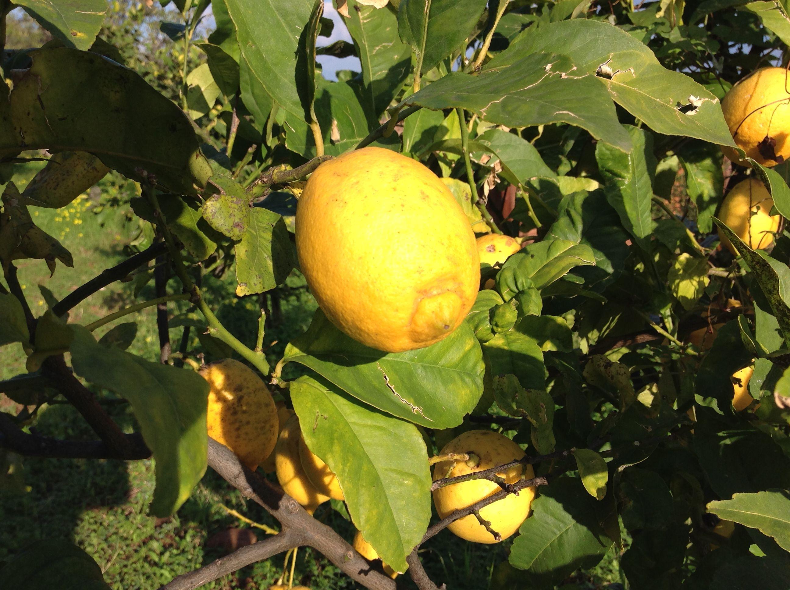 Limoni Cedri Mandarini I Buoni Agrumi Di Sicilia Sono Tutti A