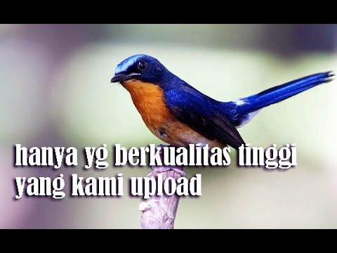 Pin Oleh Bner Di Masteran Murai Batu Di 2021 Murai Burung Juara