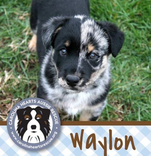 Adopt Waylon On Dog Adoption Australian Shepherd Husky Husky Mix