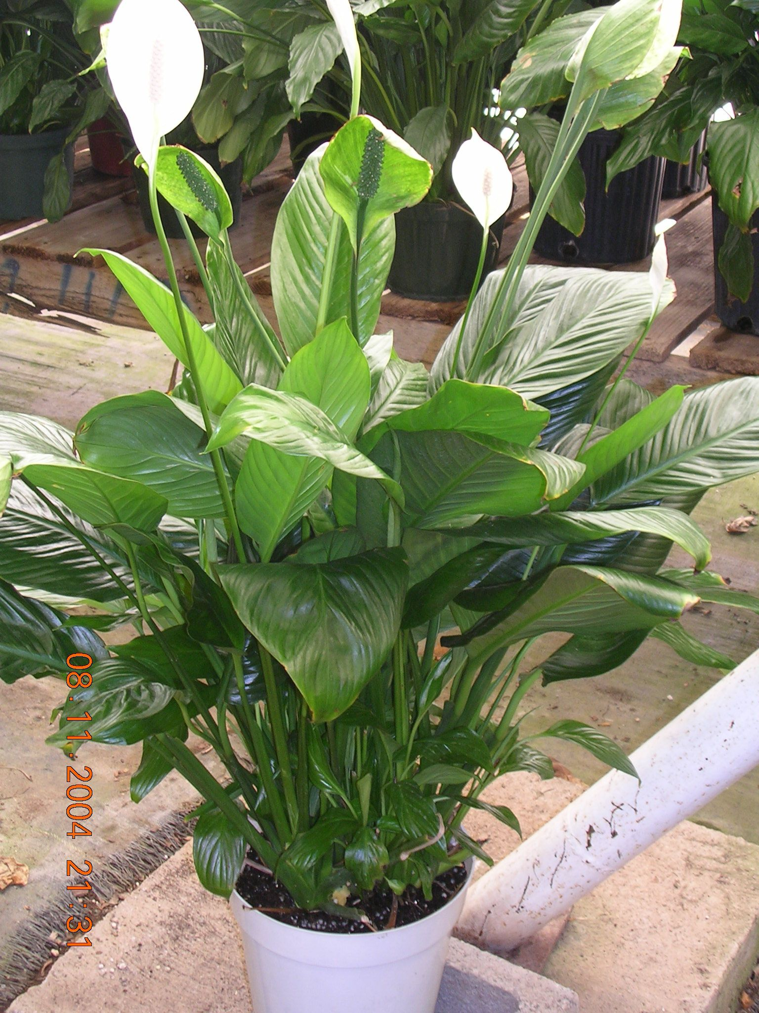 Peace Lily Plants Pretty Plants Tropical Plants