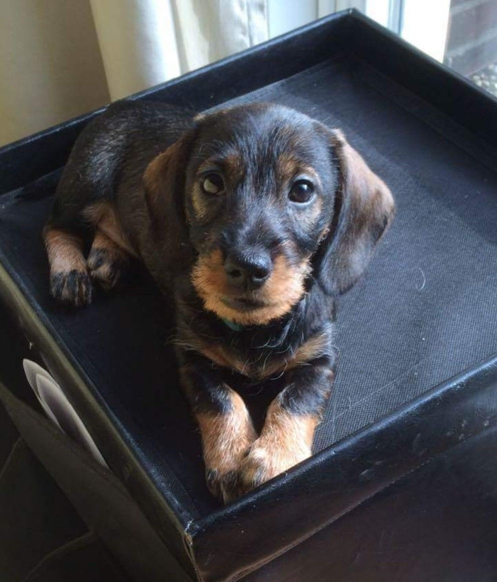 Beautiful Doxie Wire Haired Dachshund Dachshund Puppies Doxie