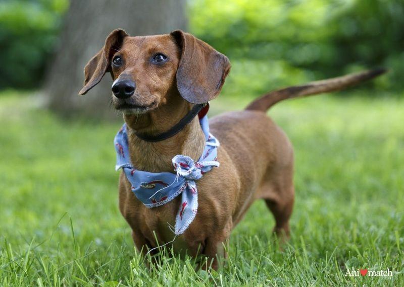 Slinky Dachshund Dog Adoption Slinky