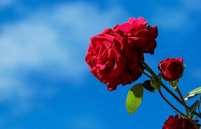 Menakjubkan 17 Download Bunga Mawar Yg Cantik Download 55 Gambar Bunga Mawar Paling Cantik Di Dunia Bunga Mawar Baby Pink Hd Wall Di 2020 Bunga Tanaman Mawar Cantik