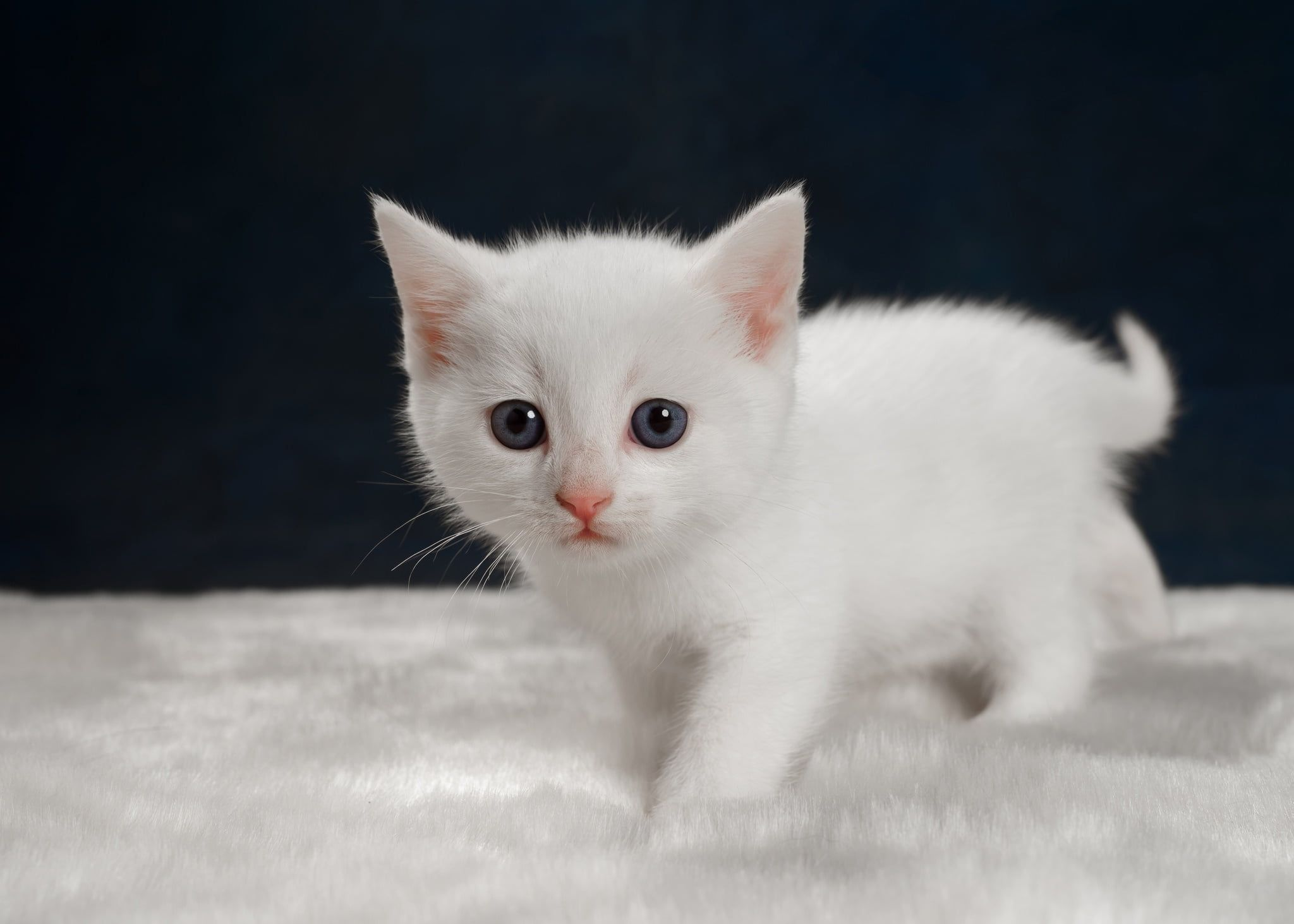 Which White Kittens Are Best To Keep As Pets Pure White Kittens In 2020 Kittens And Puppies White Kittens Kittens
