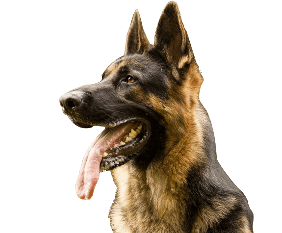 Male German Shepherd Puppy Images Dog Png Image German Shepherd Puppies German Shepherd Puppy Images Shepherd Puppies