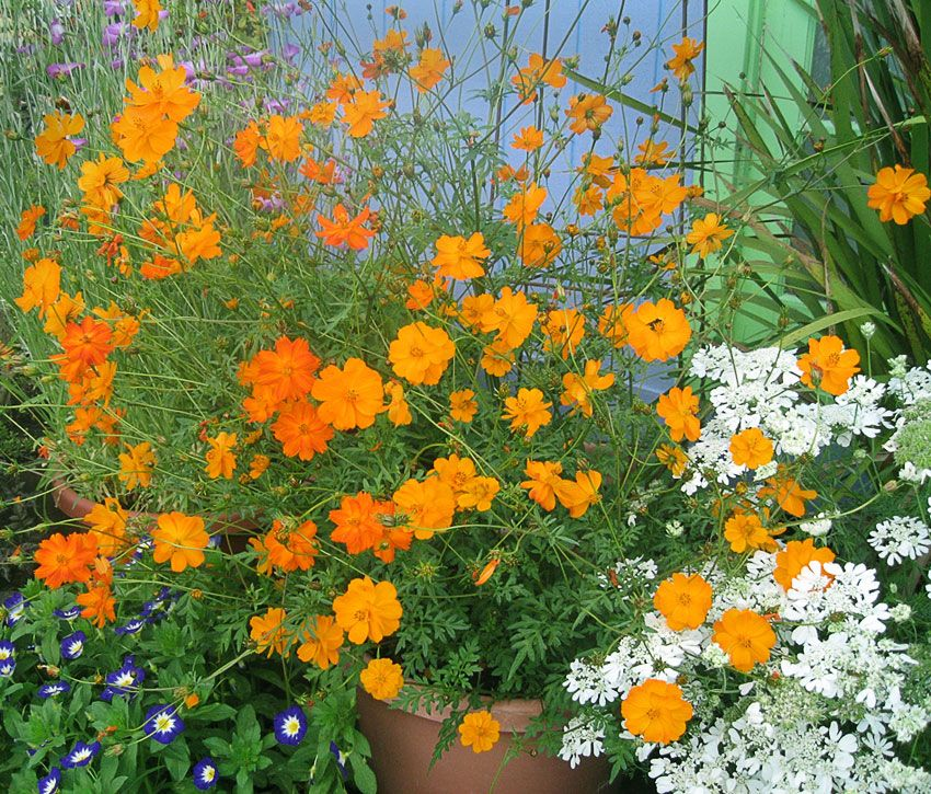 10 Colorful Flowers That Bloom During The Summer Summer Flowers Flowers That Bloom In The Heat Perennials That Like Heat Cosmos Plant Plants Cosmos Flowers